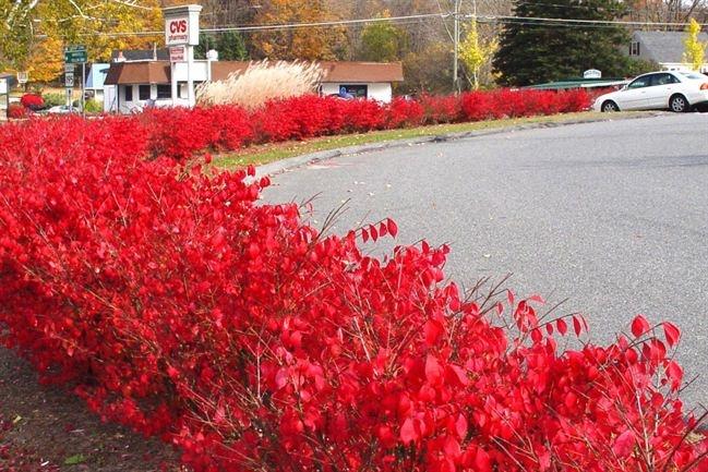 die besten 25 burning bush plant ideen auf pinterest fl gel spindelstrauch brennender busch. Black Bedroom Furniture Sets. Home Design Ideas