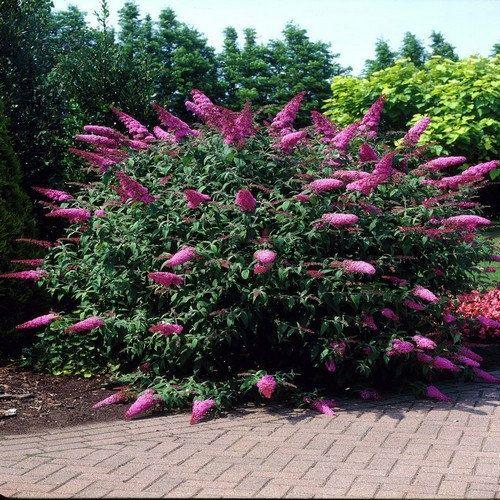 Butterfly Bush Summer Lilac Seeds Buddleja Davidii 50Seeds