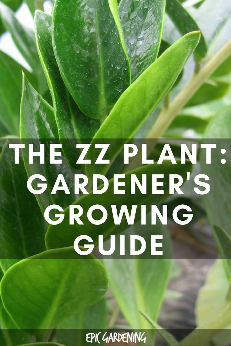 Best 25 Zz Plant Care Ideas On Pinterest Indoor Plant