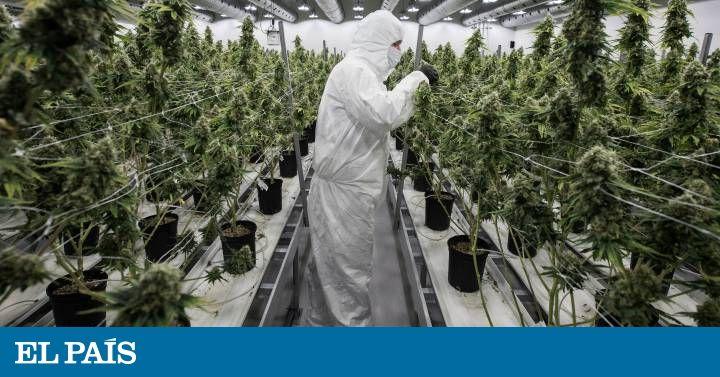 La despenalización del consumo, la venta y el cultivo de la marihuana avanzan. ¿Qué ventajas y riesgos entraña?