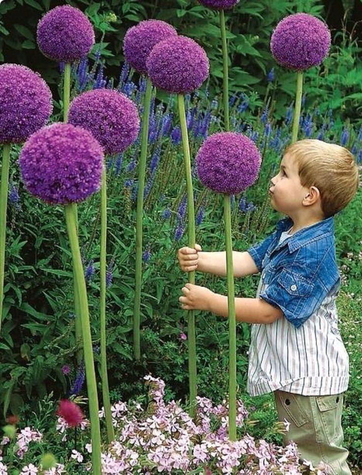 Gladiator allium, Allium giganteum, a perennial giant onion often referred to as truffula flowers, inspired by Dr. Seuss
