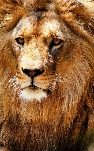 Courageous Lion Images