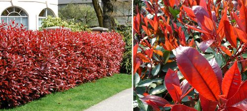 Photinia Red Robin (Photinia x fraseri) approx £339 for one every metre at 10 metres - grown already to 1-1.5m height