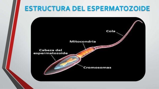 Resultado De Imagen Para Espermatozoide Del Toro Morfologia
