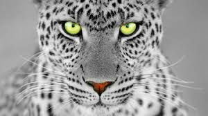 Image result for White panther