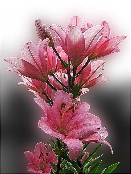 Pink lily                                                       …
