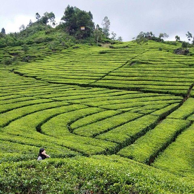 Tea gardend