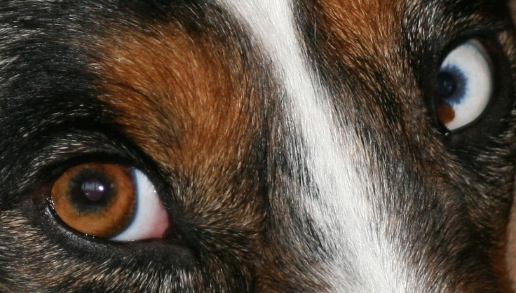 Look into my eyes and you will fall in Love ! Australian Shepherd Photographed by Teresa Albert