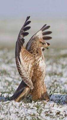 Happy APPS: Falcon Live Wallpaper