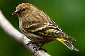 Pine Siskin - Yahoo Search Results Yahoo Image Search Results