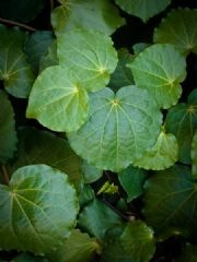 Kawakawa leaves-New Zealand plant