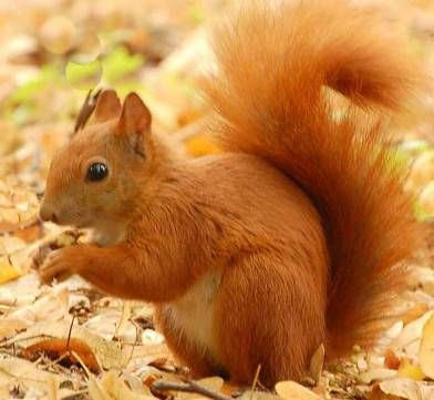 Red Squirrel Pictures & Widescreen HD Wallpapers For Desktop