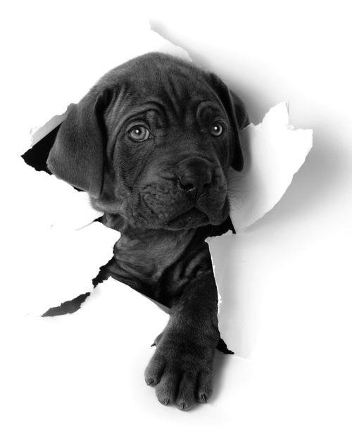 Adorable lab puppy!