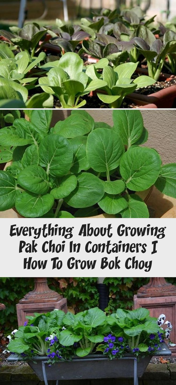 Growing pak choi in containers is super easy it is an