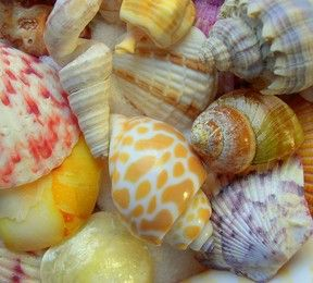 colorful pictures of seashells | Sometimes the Smallest Seashells Are The Prettiest