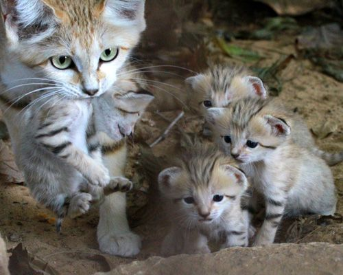 cutest endangered species_ Sand cats The smallest of all wild cats, sand cats are the size of domestic cats and are found in the deserts of northern Africa and central Asia.