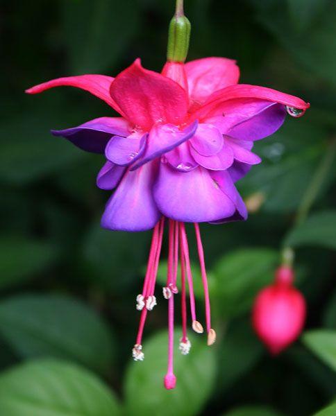 4890 best blooms images on pinterest beautiful flowers exotic fuchsia blue eyes most beautiful flowersrare mightylinksfo