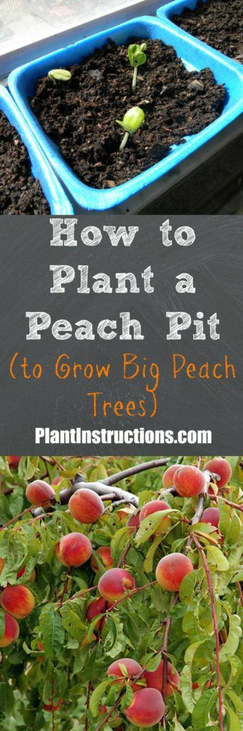 Grow your very own peach tree using only a peach pit!