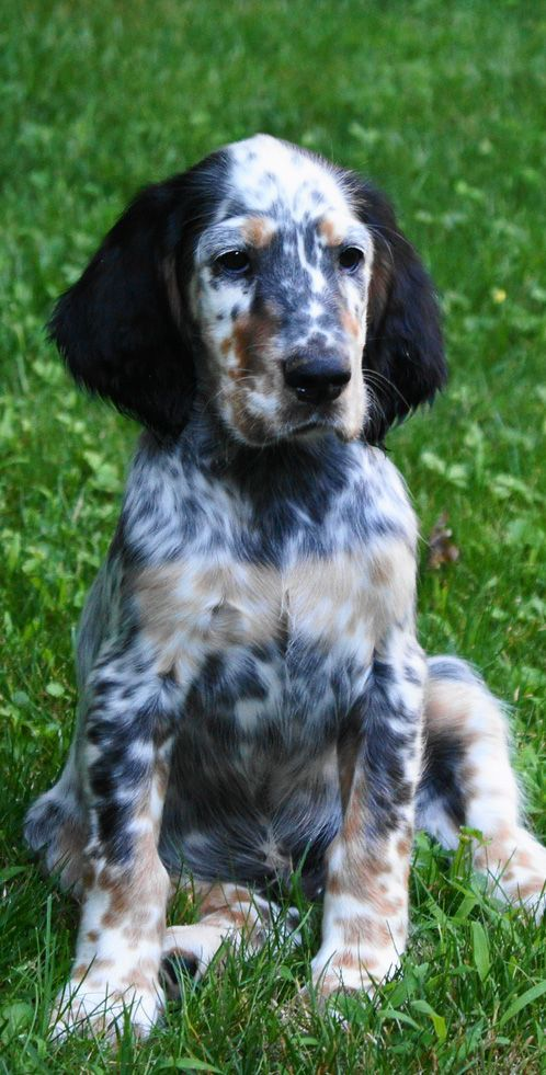 Wow. Look at the great colouring on this adorable English Setter!