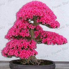 25 sakura bonsai Seeds The Budding Rate 90% Continuous Growing Gardening 3