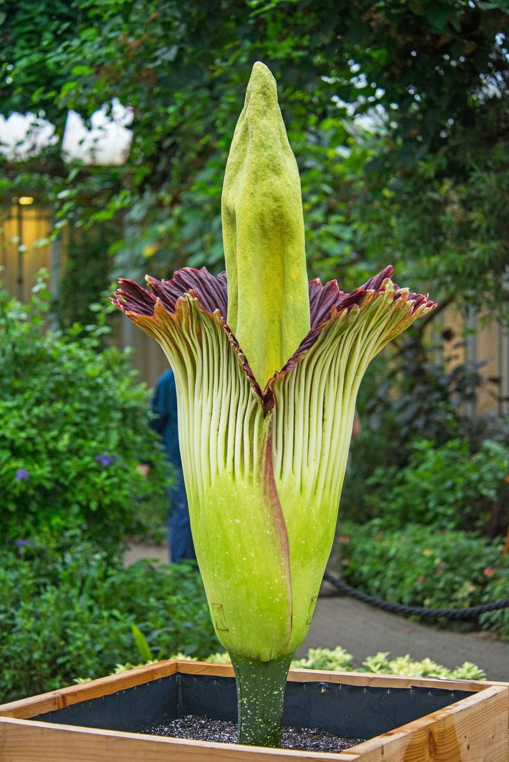 Alice the Corpse Flower Blooms at the Chicago Botanic Garden | Architectural Digest