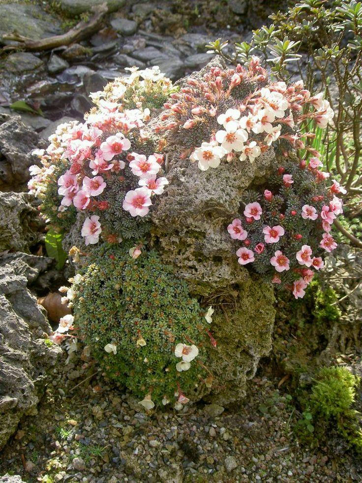 37 Best Alpine Rock Gardens Images On Pinterest