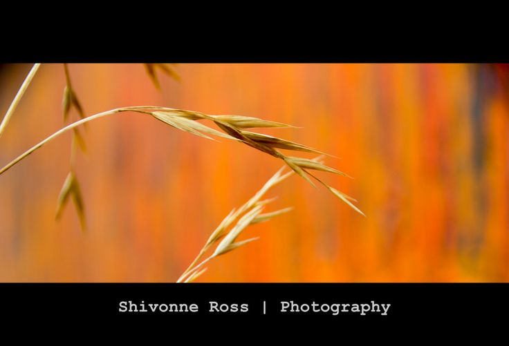#orange #grass  Grass growing wild in a city block against a colourful orange backdrop.