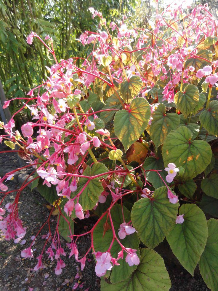 ehrfurchtiges begonie die blume fur drinnen und drausen inspiration pic oder fdbeebeeffabdcaab japan