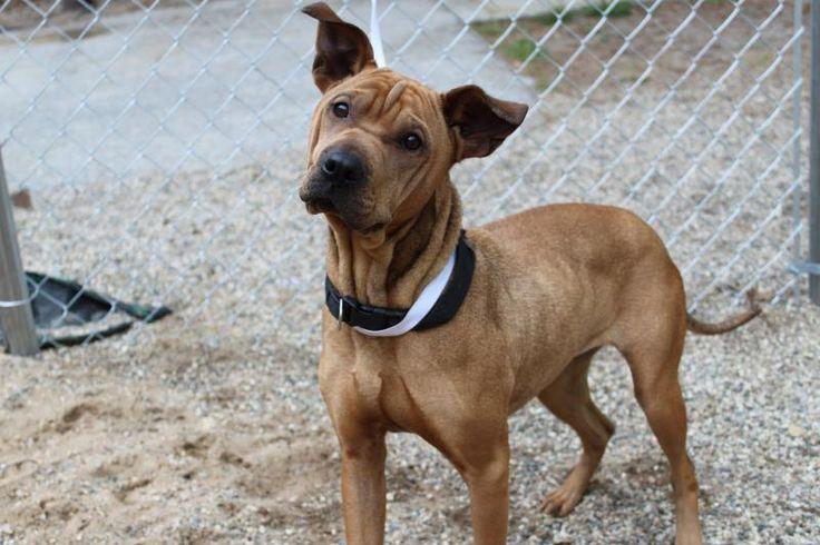 Adopt Zuzu on Adoption, Pets, Shar pei mix