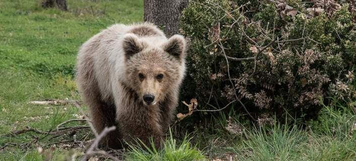 Τρέχοντας στην ελευθερία -Η στιγμή της απελευθέρωσης αρκούδας στη φύση [βίντεο & εικόνες]