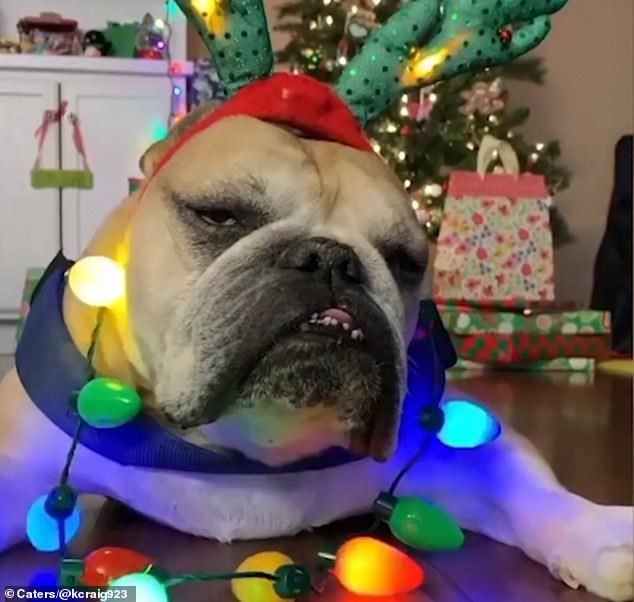 Bark Humbug Grumpy Bulldog Refuses To Get Into Festive Spirit