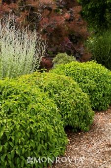 Monrovia's Kelsey's Dwarf Red-Osier Dogwood details and information. Learn more about Monrovia plants and best practices for best possible plant performance.
