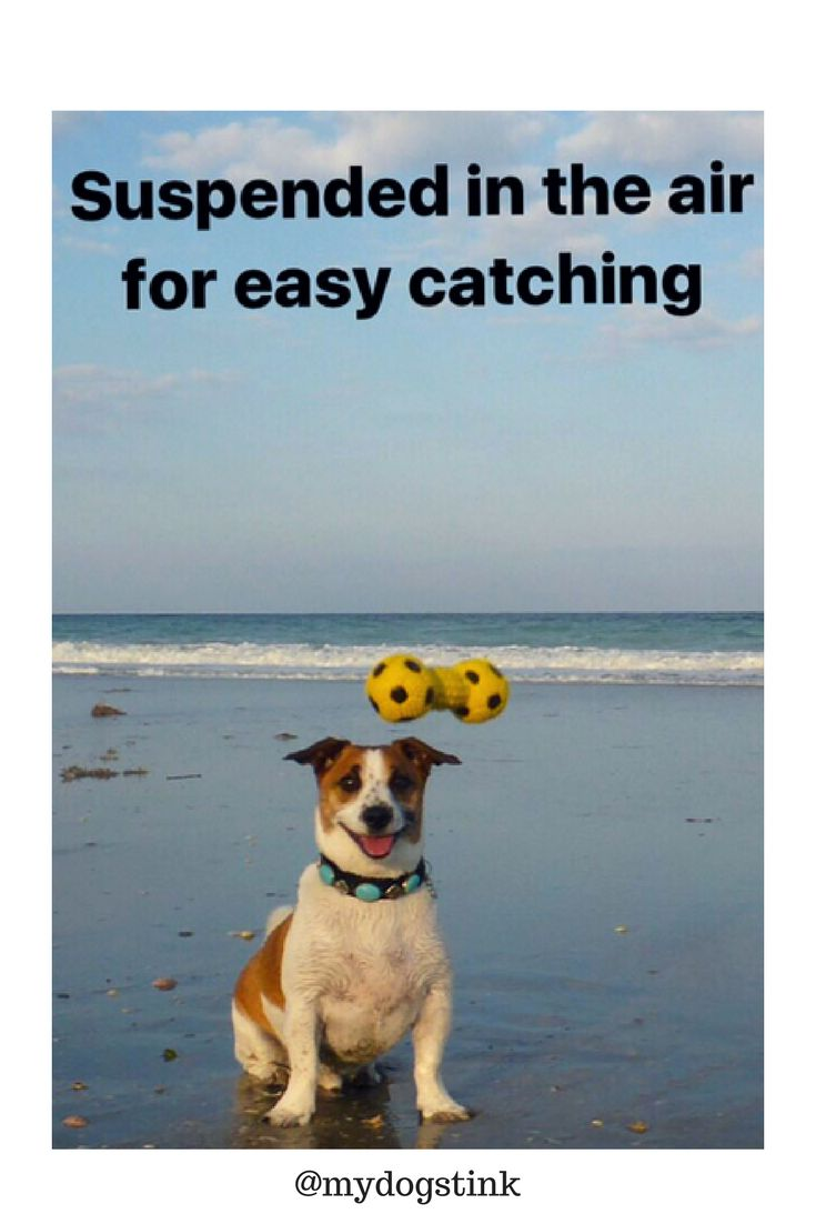 Stink, the fiercely talented Jack Russell frolics on the beach with many toys from Pet Supermarket. You can find more great photos @mydogstink on Instagram.  Thanks for sharing with fun with us!