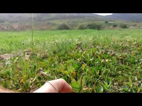 Weird Plant Species -- single leafed Drimia unifolia - YouTube