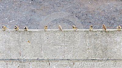Many sparrows on cement fence.