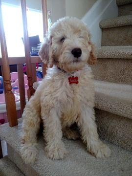 Australian Labradoodle puppy for sale in LAKE HOPATCONG, NJ. ADN-44878 on PuppyFinder.com Gender: Male. Age: 12 Weeks Old