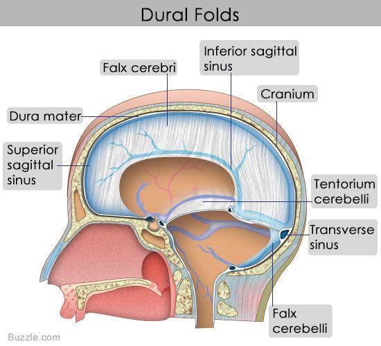 Dural folds/septa