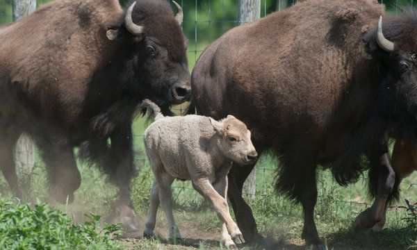 A white bison is born on a Connecticut Farm, June 2012. A white bison is considered the most sacred thing imaginable for AmerIcan Indians, and a supremely auspicious message from the spirits. Experts have said only one in 10 million bison are white.
