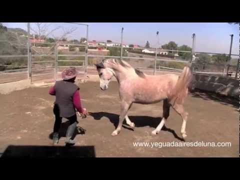Comunicación con caballo árabe suelto: doma natural - YouTube
