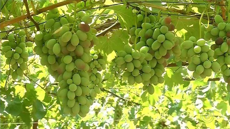 Produtores da região de Jales comemoram bons resultados com nova variedade de uva