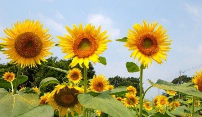 30 Gambar Bunga Matahari Cantik Bunga Seringkali Menjadi Hiasan Di Vas Vas Dalam Rumah Di Pekarangan Pekarangan Bahkan Tid Di 2020 Bunga Petunia Bunga Bunga Matahari