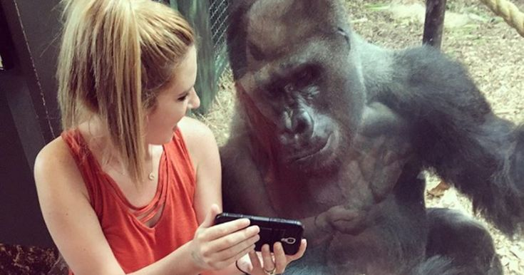 This chill gorilla loves baby animal videos like the rest of us