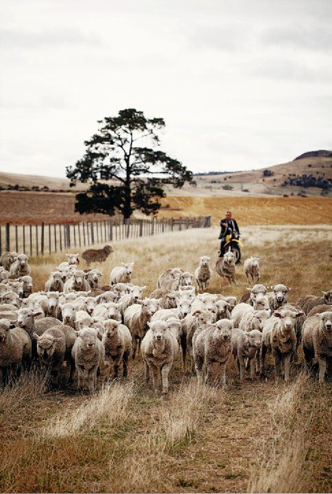 love the motorcycle the herdsman is riding ...