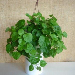 Planta del Dinero Planta de interior y exterior
