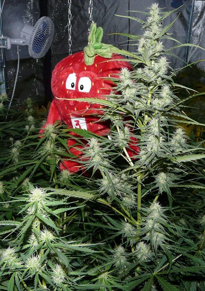 Spliff's Strawberry 1 week vegetative  , 5 weeks 12/12 by Master  Kroblo. Aiming for 1,5 liter cola bottle.