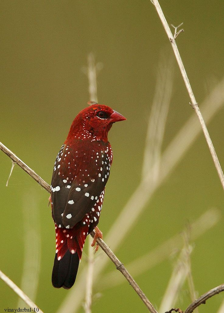 The Red Munia, Red Avadavat or Strawberry Finch (Amandava amandava) is a sparrow-sized bird of the Munia family. It is found in the open fields and grasslands of tropical Asia.