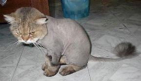 Risposta : Zampa del gatto senza pelo