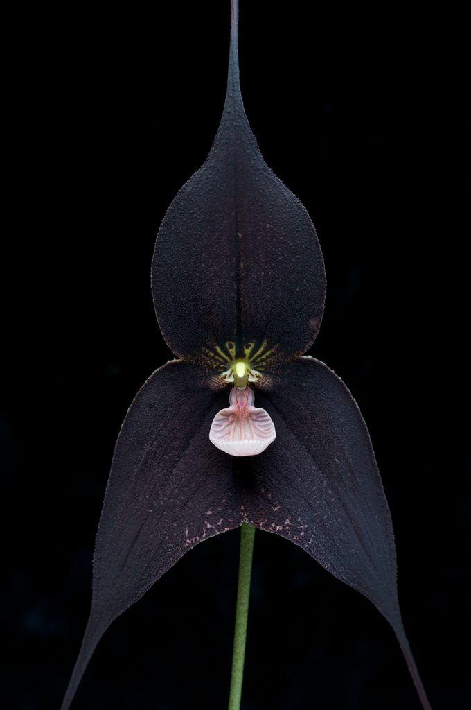 Dracula Raven 'Edgar'  (D. vampira x D. roezlii).  Grown by Hawk Hill Orchid Nursery #myt #garden #greenhouse