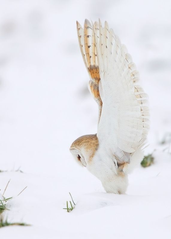 """Barn Owl by Karen Summers """"Wholly Cow how did I get into this mess?"""""""