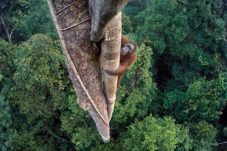 Grand prix du jury. Jeune mâle orang-outan photographié alors qu'il se rend dans la canopée pour faire ses courses. © Tim Laman, 2016 Wildlife Photographer of the Year
